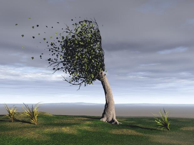 windswept tree